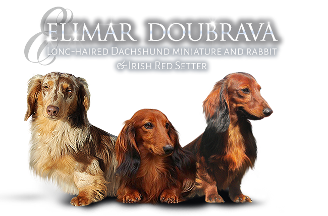 Dachshunds Rabbit and Miniature longhaired and Irish Red Setters - kennel Elimar Doubrava